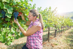 Woman picking grape during wine harvest Stock Image