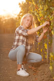 Woman picking grape during wine harvest in vineyard on late autu Royalty Free Stock Photos