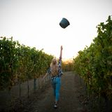 Woman picking grape during wine harvest in vineyard on late autumn afternoon.  royalty free stock photography