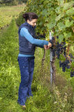 Woman picking grapes Royalty Free Stock Image