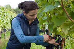 Woman picking grapes Stock Photos