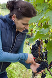 Woman picking grapes Stock Image