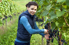 Woman picking grapes Royalty Free Stock Photo