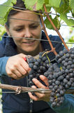 Woman picking grapes Royalty Free Stock Photos