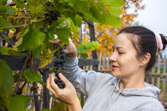 Woman picking grapes that she grows at her garden Royalty Free Stock Photos
