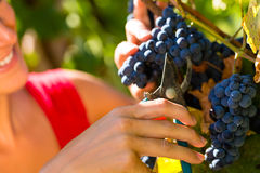 Woman picking grapes with shear Stock Photo