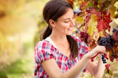 Woman picking grapes Stock Photography