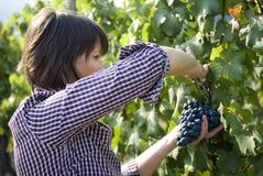 Woman picking grapes Royalty Free Stock Image