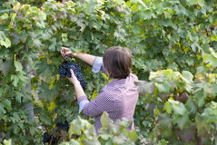 Woman picking grapes Royalty Free Stock Images