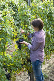 Woman picking grapes Stock Photo