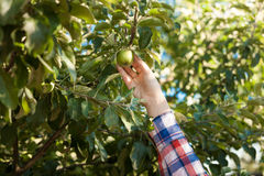 Woman picking green apple from tree Royalty Free Stock Photography