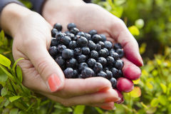 Woman picking healthy blueberries in the woods Stock Photo