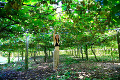 Woman picking kiwis from amazing orchard in New Zealand. royalty free stock photo