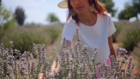 Woman picking lavender flowers stock video