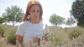 Woman picking lavender flowers stock footage