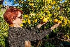 Woman Picking Lemons Royalty Free Stock Images