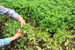 Woman picking mint plants at vegetable garden Royalty Free Stock Photography