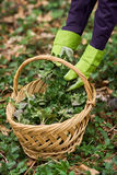 Woman picking nettles in a basket Royalty Free Stock Photos