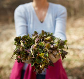 Woman picking nettles Royalty Free Stock Photo