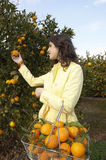 Woman Picking Oranges Stock Photo