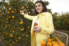 Woman Picking Oranges. Sophisticated woman reaching for an orange from a tree while holding a supermarket shopping basket full of oranges royalty free stock image