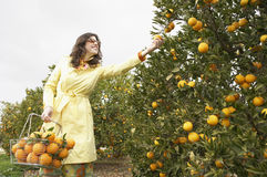 Woman Picking Oranges. Sophisticated woman reaching for an orange from a tree while holding a supermarket shopping basket full of oranges stock image