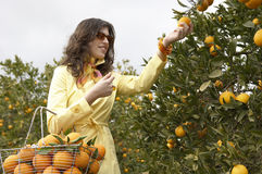 Woman Picking Oranges Stock Photography