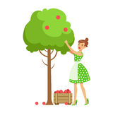 Woman Picking Organic Apples From A Tree , Contributing Into Environment Preservation By Using Eco-Friendly Ways Royalty Free Stock Photography