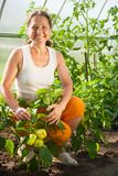 Woman is picking of  pepper Stock Photography