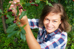Woman picking red cherry from tree. In summer garden royalty free stock images
