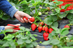 Woman Picking Red Strawberry Stock Image