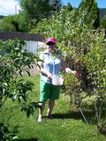 In the garden picking red current fruit Royalty Free Stock Photo
