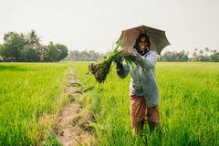 Woman picking rice on paddy field stock image