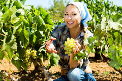 Woman picking ripe grapes on vineyard Stock Photos