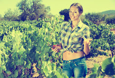Woman picking ripe grapes on vineyard Royalty Free Stock Photo