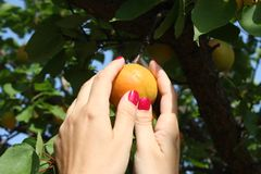 Woman picking ripe organic apricot Stock Image