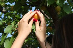 Woman picking ripe organic apricot Royalty Free Stock Photo