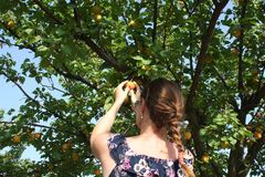 Woman picking ripe organic apricot Royalty Free Stock Photography