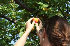 Woman picking ripe organic apricot Stock Photography