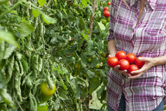 Woman picking ripe tomatoes in greenhouse garden royalty free stock photography