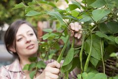A woman picking runner beans Royalty Free Stock Photo