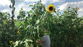 Woman picking sunflowers stock footage