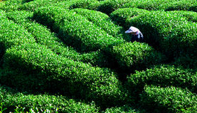 Woman picking tea leaves Stock Photo