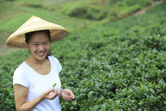 Woman picking tea leaves Stock Photo