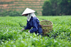 Woman picking tea leaves in a tea plantation Vietnam. Woman picking tea leaves in a tea plantation Royalty Free Stock Photos