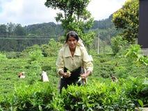 Woman picking tea in Sri Lanka Royalty Free Stock Images