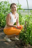 Woman is picking of tomato Royalty Free Stock Photos