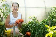 Woman picking tomato Royalty Free Stock Photos