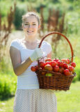 Woman picking tomato in field Royalty Free Stock Photography