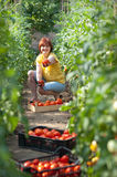 Woman picking  tomatoes Royalty Free Stock Image